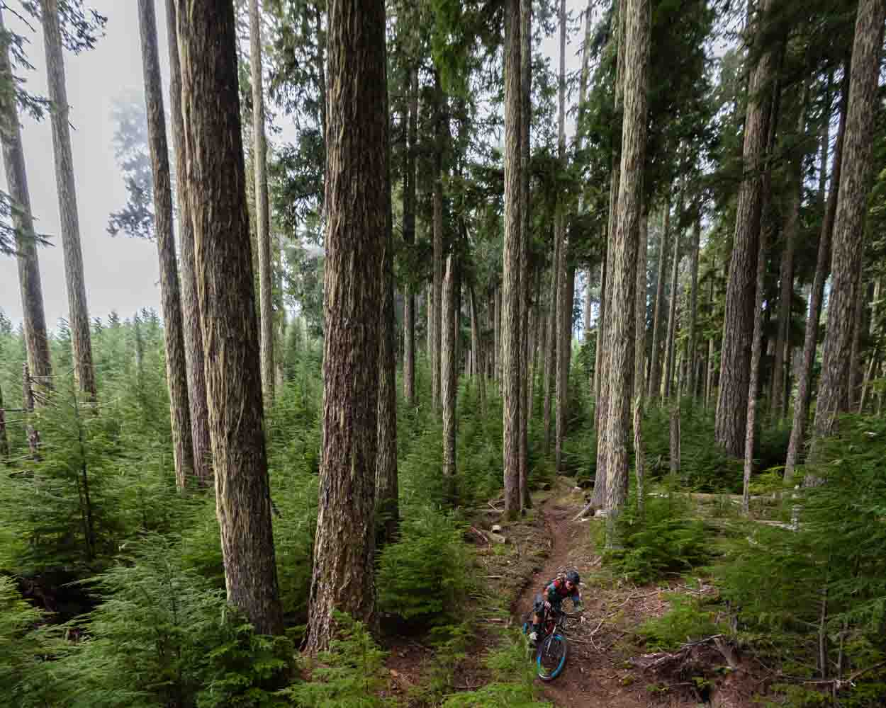 A single mountain biker descends through old grown forest in Oakridge, Oregon