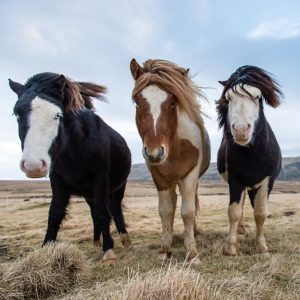 icelandic horses make for a unique photo opportunity.