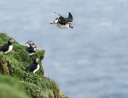 Visit Faroe Islands: Millions of Puffins on the Faroe Islands