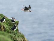 Visit Faroe Islands: Millions of Puffins on the Faroe Islands