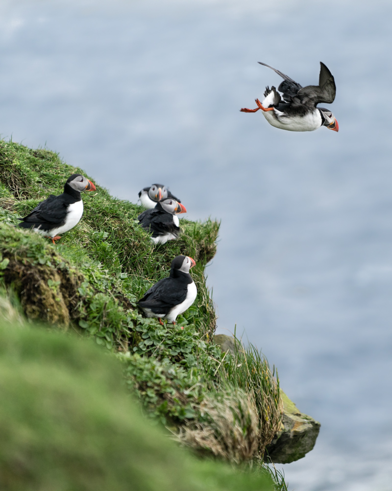 Millions of Puffins, Puffins for free