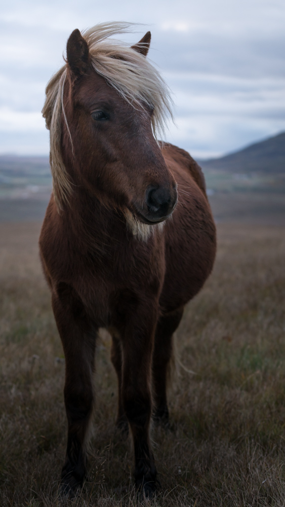 horses are a highlight of any trip to iceland