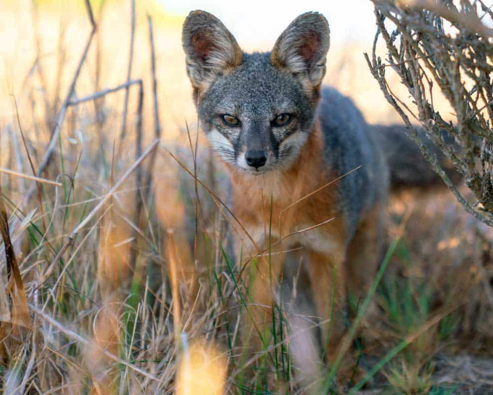 The island fox, as I highlighted in my santa rosa island travel guide, is an endemic species that is thriving